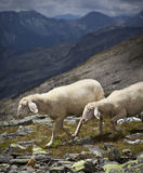 Mountain sheep Royalty Free Stock Photo