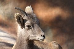 Mountain Sheep Stock Photo