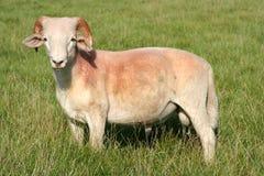 Mountain sheep Royalty Free Stock Image