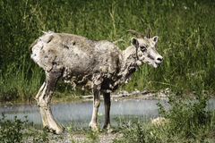 Mountain Sheep. A mountain sheep grazing on grass by water Stock Photography