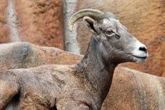 Mountain Sheep Stock Photos