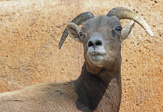 Mountain Sheep Royalty Free Stock Photos
