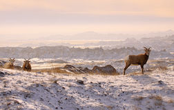 Mountain sheep in badlands Stock Images