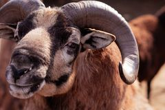 Mountain sheep. Beautiful animals in the city park on a sunny day stock photography