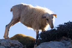 Mountain sheep crete 1. Sheep eating in crete mountains Stock Images