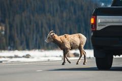 Mountain sheep crossing the main road, Icefields Parkway, Jasper National Park, Travel Alberta, Canadian Rockies, wildlife, Canada royalty free stock photos