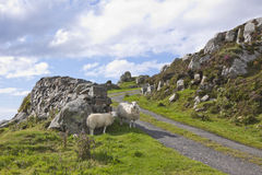 Mountain Sheep in the Donegal Hills in Ireland. These hardy sheep seem to be out for a stroll on a mountain road Stock Images