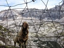 Mountain sheep in german alps behind a fence stock photo