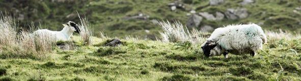 Mountain Sheep. Grazing Sheep on a mountainside Royalty Free Stock Image