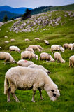 Mountain sheep grazing Stock Photography