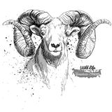 Mountain sheep. Illustration in grunge style. White background Royalty Free Stock Photos