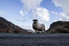 A mountain sheep in Ireland`s vast Donegal Mountain landscape. An Irish sheep wandering the narrow cliffside roads in an Irish landscape in North Donegal royalty free stock photo