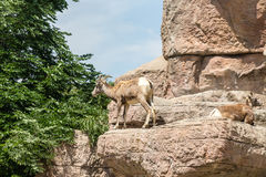 Mountain Sheep Looking for Food royalty free stock image