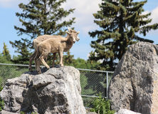 Mountain sheep  on rocks ready to jump Stock Photography
