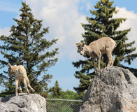 Mountain sheep  on rocks ready to jump Royalty Free Stock Images