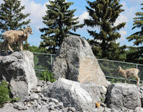 Mountain sheep  on rocks ready to jump Royalty Free Stock Photos