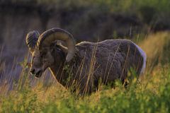 Mountain sheep at sunrise Royalty Free Stock Photo