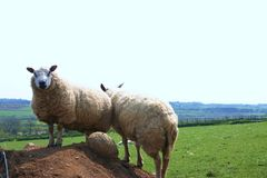 Mountain Sheep, Wales stock images