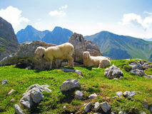 Mountain Sheep. Walking the trail to the top of the Zugspitze Mountain royalty free stock photo