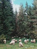 Mountain sheep Royalty Free Stock Images