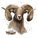 Mountain sheep. Watercolor painting. White background Royalty Free Stock Photo