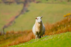 Mountain sheep Royalty Free Stock Image