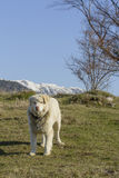 Mountain shepherd dog Royalty Free Stock Image