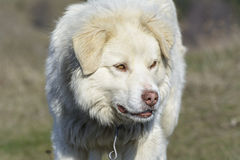 Mountain shepherd dog Royalty Free Stock Images