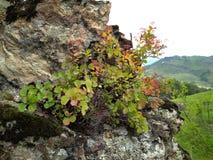 Mountain shrub grows in rocky terrain among rocks on sparse stones. Mountain shrub grows in rocky terrain among the rocks on the meager rocks in the Altai stock photos