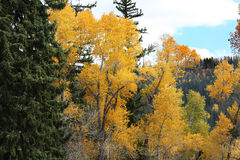 Mountain Side Fall Colors. Beautiful mountain forest turning into autumn colors Royalty Free Stock Photo