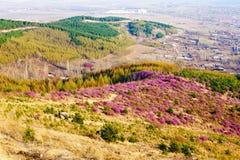 The mountain slope azalea Royalty Free Stock Image