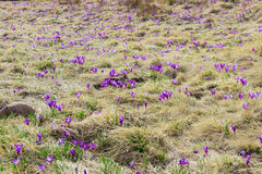 Mountain slope with crocuses vernus among the withered grass Stock Photo