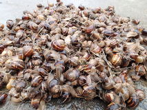 Mountain of snails Royalty Free Stock Image