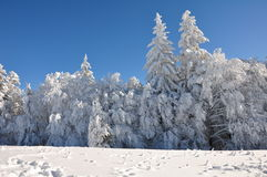 Mountain snow. Snow covered forests of fir trees in mid winter.  Above it there's a clear blue sky Stock Images