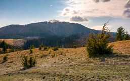 Mountain with snowy peak in springtime. Forested hillsides with weathered grass Royalty Free Stock Photos