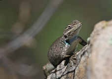 Mountain Spiny Lizard Close-Up Stock Photography