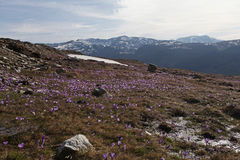 Mountain spring flowers Royalty Free Stock Image