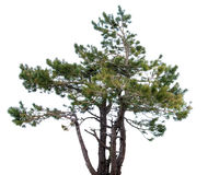 Mountain spruce. Royalty Free Stock Photography