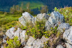Mountain stone with fresh alpine plants on the hillside Royalty Free Stock Image