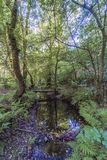 Mountain stream called. `Chelo` with several stone walkways in a very leafy and green forest in Galicia Spain. Without people Royalty Free Stock Photography