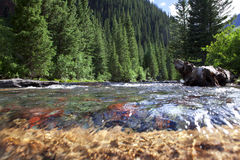 Mountain Stream In Colorado. A mountain stream or creek in Colorado. South Mineral Creek in the San Juan National Forest. Near Silverton CO Royalty Free Stock Photos