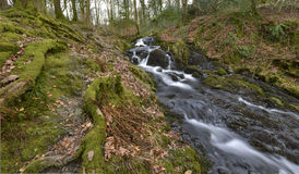 Mountain stream. Flowing between the roots, moss and dry leaves Stock Photo