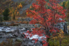 Mountain Stream Long Exposure Day View With Red Rowan Tree, Altai Mountains Highland Nature Autumn Landscape Photo Stock Image