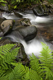 Mountain stream with rocks and ferns. Close-up Royalty Free Stock Photography