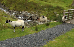 Mountain stream with sheep Royalty Free Stock Image