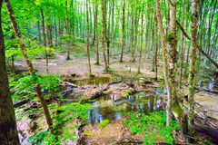 Mountain stream among the trees of beech and hornbeam Royalty Free Stock Photo