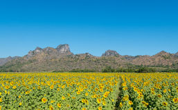 Mountain. Sunflowers field nature flora blooming sun green beautiful summer blossom agriculture background landscape yellow flower blue floral, outdoor garden Royalty Free Stock Photography