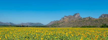Mountain. Sunflowers field nature flora blooming sun green beautiful summer blossom agriculture background landscape yellow flower blue floral, outdoor garden Royalty Free Stock Photos
