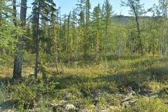Mountain taiga on the Putorana plateau. Royalty Free Stock Photos