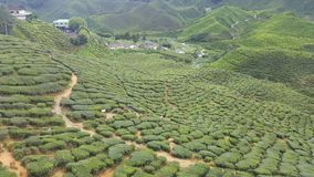 Mountain tea. Green to the ends of the earth Stock Photo